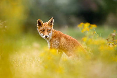 Flower Child Photograph - The Fox And The Flowers by Roeselien Raimond