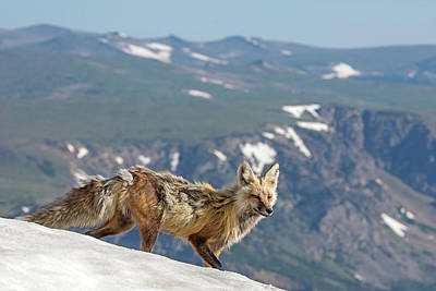 Photograph - The Fox And The Mountain by Sandy Sisti