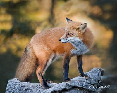 Photograph - The Fox by CR Courson