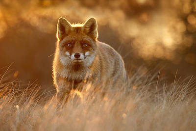 The Fox With The Golden Face Art Print by Roeselien Raimond