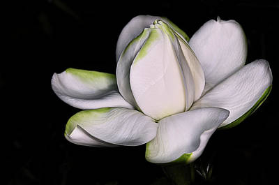 Photograph - The Fresh Gardenia by JC Findley
