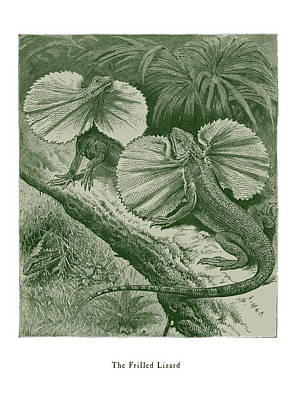 Drawing - The Frilled Lizard by David Davies