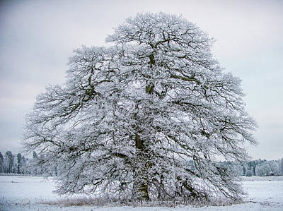 Photograph - The Frosty Grand Old Oak by Torbjorn Swenelius
