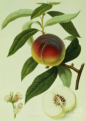 Peach Painting - The Galande Peach by William Hooker