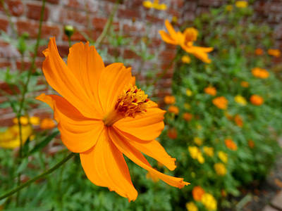 The Garden Orange Cosmos Flower Art Print by Mike McGlothlen