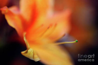 Photograph - The Garden - Peach Colored Azalea Flower by Terry Elniski