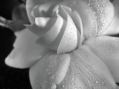 Photograph - The Gardenia In Black And White by JC Findley