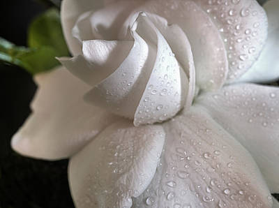 Photograph - The Gardenia by JC Findley