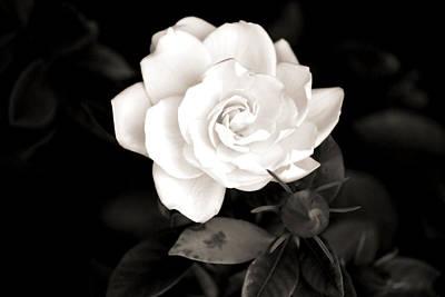 Gardenia Photograph - The Gardenia by Karen Scovill