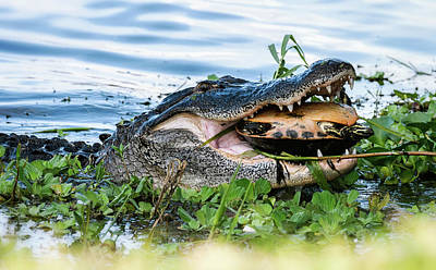 Photograph - The Gator And The Turtle  by Saija Lehtonen