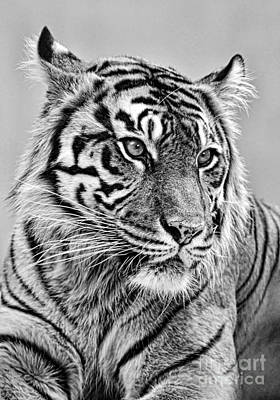 Photograph - The Gaze Of A Tiger Version II by Jim Fitzpatrick