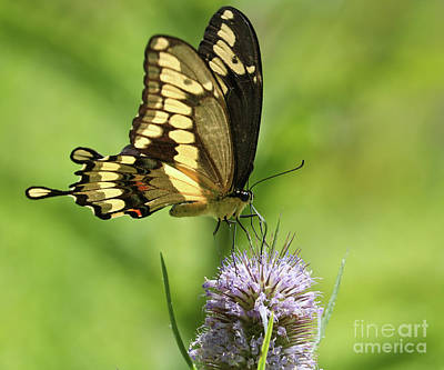 Photograph - The Giant Swallowtail by Anita Oakley