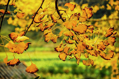 Photograph - The Ginkgo Tree Leaves Closeup In Autumn by Carl Ning