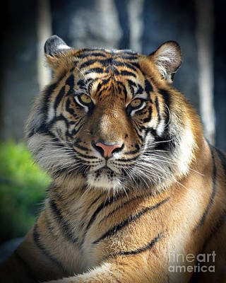 Photograph - The Glare Of A Tiger by Jim Fitzpatrick