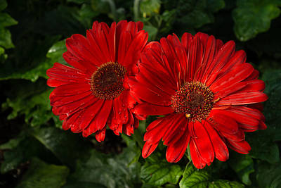Photograph - The Glorious Red Duo - Two Scarlet Gerbera Daisies  by Georgia Mizuleva