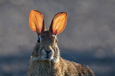Photograph - Golden Ears Bunny by Mircea Costina Photography