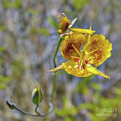 Photograph - The Golden Mariposa Lily by Gabriele Pomykaj