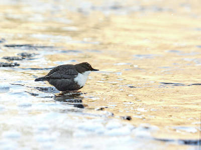 Photograph - The Golden River. White-throated Dipper by Jouko Lehto