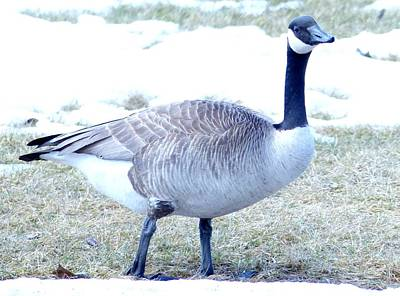 Photograph - Canadian Goose by 'REA' Gallery