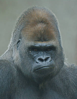 Photograph - The Gorilla 4 by Ernie Echols