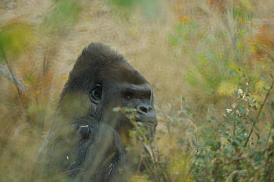 Photograph - The Gorilla 5 by Ernie Echols