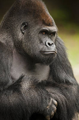 Serious Facial Expression Photograph - The Gorilla Look by Chad Davis