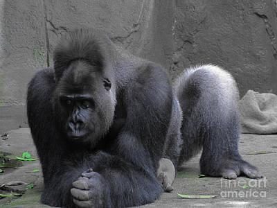 Photograph - Western Lowland Gorilla by RLH Photography