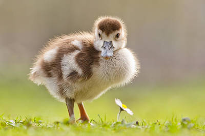 Cute Bird Photograph - The Gosling And The Flower by Roeselien Raimond