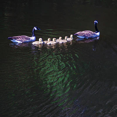 Photograph - The Goslings On The River by David Patterson
