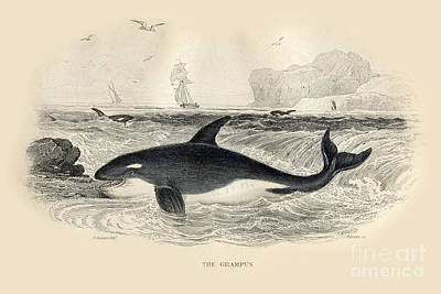 Photograph - The Grampus Aka Orca By J. Stewart Del 1837 by California Views Mr Pat Hathaway Archives