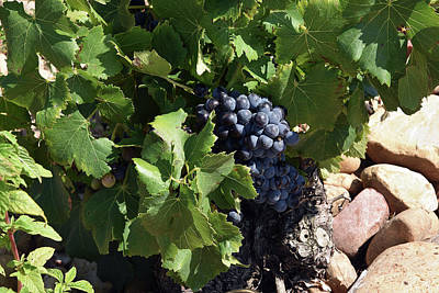 Photograph - The Grapes Of Chateauneuf-du-pape by Harvey Barrison