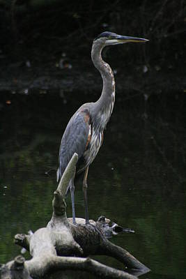 Photograph - The Great Blue Heron by Christopher Kirby