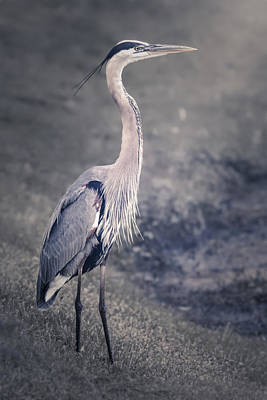 Photograph - The Great Blue Heron by Eduard Moldoveanu