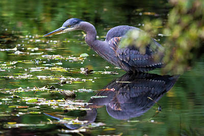 The Great Blue Heron Hunting For Food Art Print by David Gn