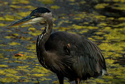 Photograph - The Great Blue Heron by Laddie Halupa