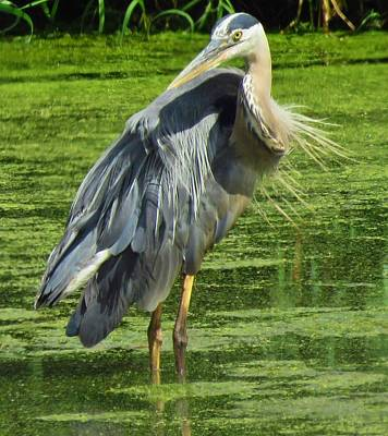 Photograph - The Great Blue Heron by Lori Frisch