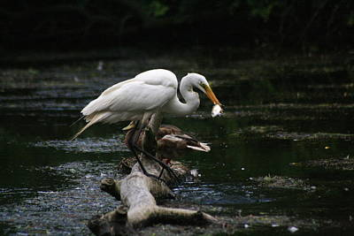 Photograph - The Great Egret Fishing From Driftwood by Christopher Kirby