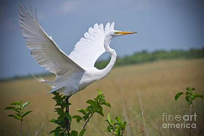 Photograph - The Great Egret In Flight by Judy Kay