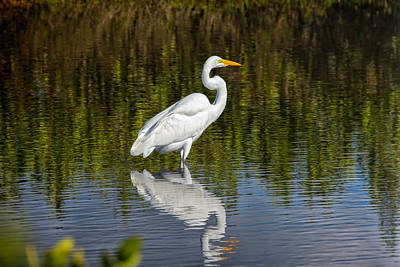 Photograph - The Great Egret by John M Bailey