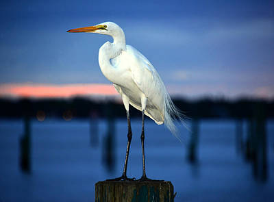 Photograph - The Great Egret Portaiture by David Lee Thompson
