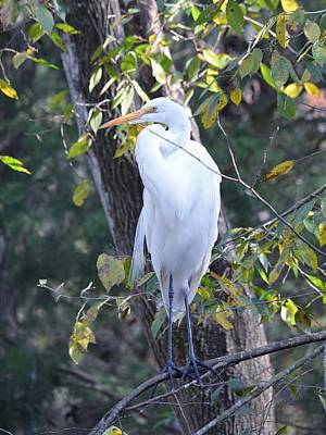 Photograph - The Great Egret - Thinking by rd Erickson