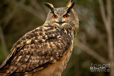 Photograph - The Great Horned Owl by Jale Fancey