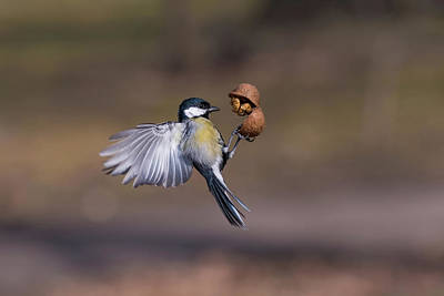 Photograph - The Great Tit Parus Major Catching Walnut In The Air. Selectiv by Julian Popov