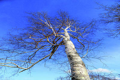 Photograph - The Great White Birch by Mike Breau