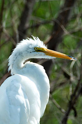 Photograph - The Great White Egret by S Michael Basly - PhotoGraphics By S Michael