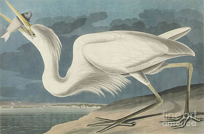 Painting - The Great White Heron, Ardea Occidentalis, From The Birds Of America by John James Audubon