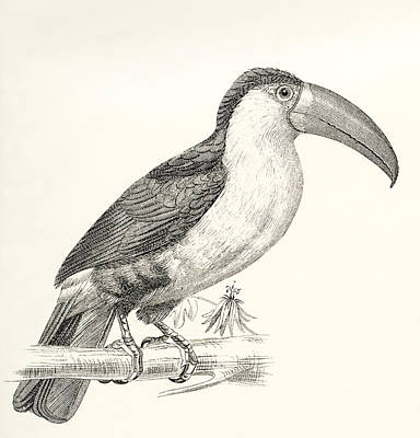 Toucan Drawing - The Green-billed Toucan Aka by Vintage Design Pics