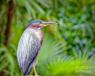 Photograph - The Green Heron by Judy Kay