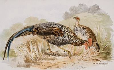 Two Tailed Drawing - The Grey Jungle Fowl, Or Sonnerat S by Vintage Design Pics