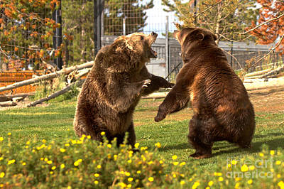 Photograph - The Grizzly Brawl by Adam Jewell
